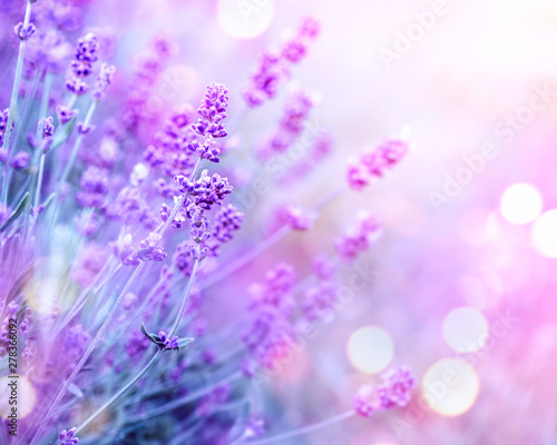 Fototapeta Lavender. Blooming fragrant lavender flowers on a field, closeup. Violet background of growing lavender swaying on wind. Aromatherapy obraz