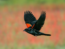 Red-Winged Blackbird Past The ...