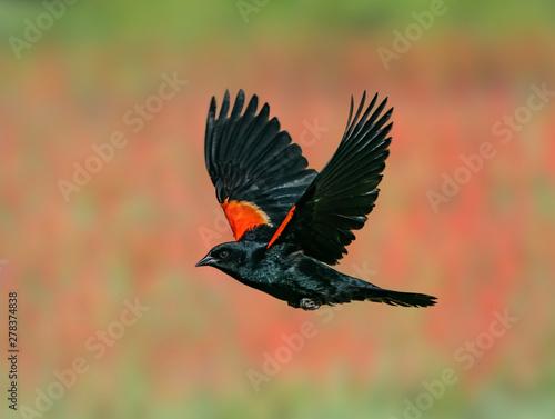 Red-Winged Blackbird Past the Penstemon - A male red-winged blackbird flies past a flower patch of Eaton's Penstemon flowers Canvas Print
