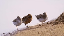 Two Terek Sandpipers (Xenus Ci...
