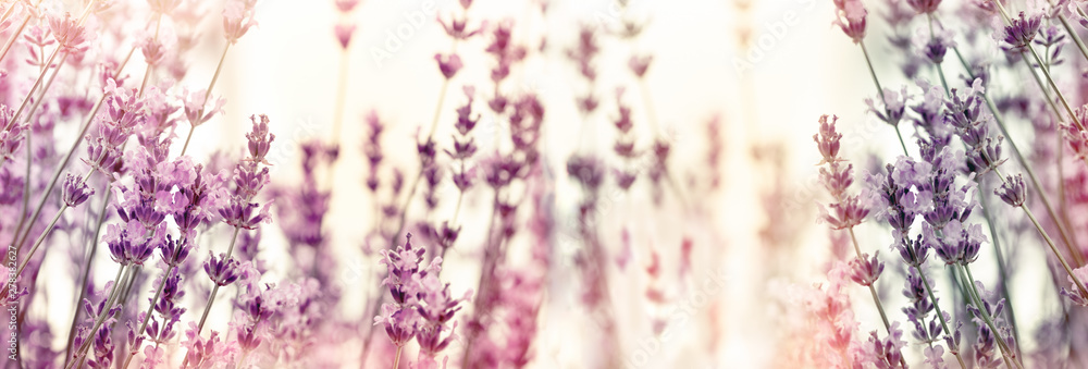 Fototapety, obrazy: Selective and soft focus on lavender flowers, lavender flower in flower garden