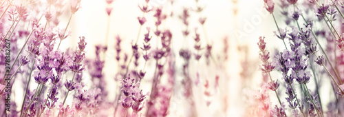 Fototapeta Selective and soft focus on lavender flowers, lavender flower in flower garden obraz