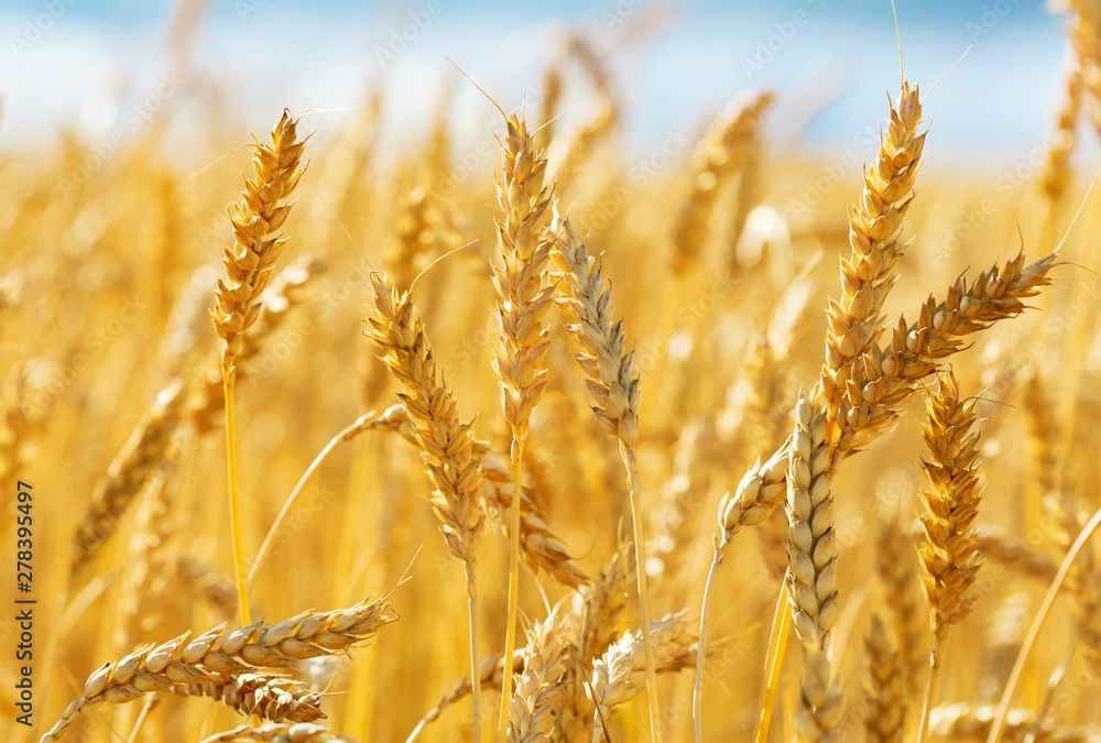 Fototapety, obrazy: Close up of wheat ears. Field of wheat in a summer day