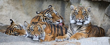 Family Of Sumatran Tiger (Pant...