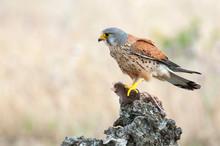 Common Kestrel Eating A Mouse - Falco Tinnunculus - In Natural Habitat