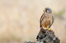 Common Kestrel Eating A Mouse ...