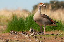 Egyptian Goose (Alopochen Aegyptiaca) With Their Young Chicks