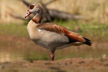 Egyptian Goose - Alopochen Aeg...