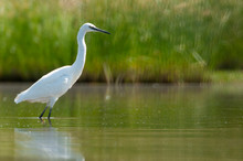 The Great Egret - Ardea Alba - Walking On The Water Looking For Food
