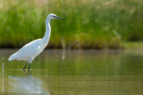 Fotografie, Tablou  The great egret - Ardea alba - walking on the water looking for food