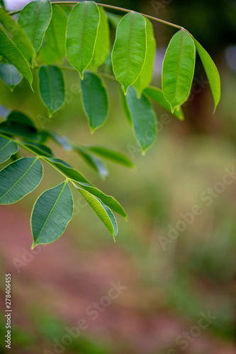 Green leaves, green leaf photos that are rich in natural areas Concept of nature love - 278406455