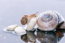 Macro Beautiful Forest Wild Snail Sits On A Large Shell Spiral On Water With Stones And Reflection