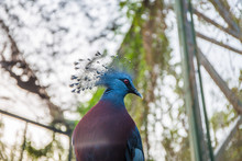 A Headshot Of A Western Crowned Pigeon (Goura Cristata), Also Known As The Common Crowned Pigeon Or Blue Crowned Pigeon