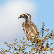 One Grey Hornbill Perched On A...