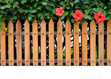 Three Red Hibiscus Flowers Behind A Wooden Fence, Offset And Copy Space, Summer In The Garden.
