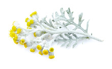 Helichrysum Isolated On White ...