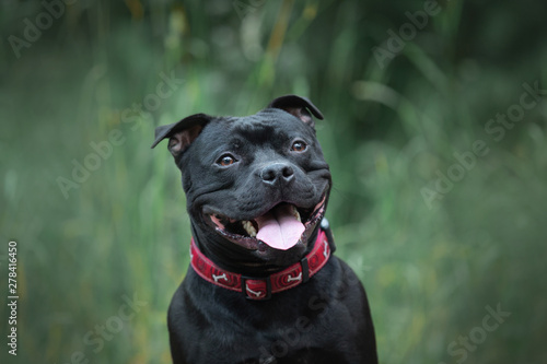 Cuadros en Lienzo Cute and happy black staffordshire bull terrier sitting in the forest