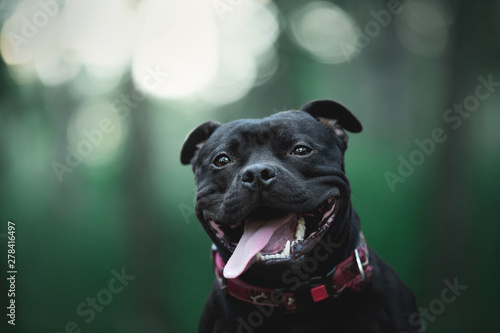 Fotografia Cute and happy black staffordshire bull terrier sitting in the forest