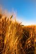 goldenes Kornfeld und blauer Himmel zur Abendstunde