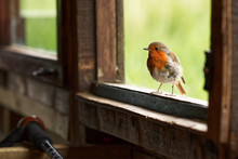A Robin Perched On A Window Sill Of A Bird Hide