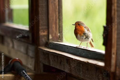Fotografia A Robin perched on a window sill of a bird hide