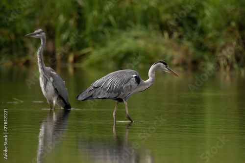 Grey heron (Ardea cinerea) Canvas Print