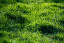 Closeup Of A Long Uncut Green Grass Lawn