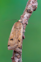 Owlet Moth - Large Yellow Underwing - Noctua Pronuba