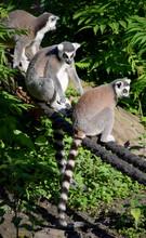 Ring-tailed Lemur Wildlife