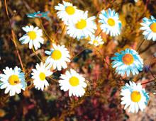 Rumianek Kwiat Polny