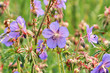 Meadow crane`s-bill (Geranium pratense) on a July morning