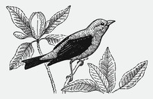 Scarlet Tanager Piranga Olivacea Sitting On A Plant Stalk. Illustration After A Historical Engraving From The Early 20th Century