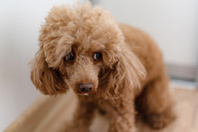 A Scared Dog (apricot Poodle)