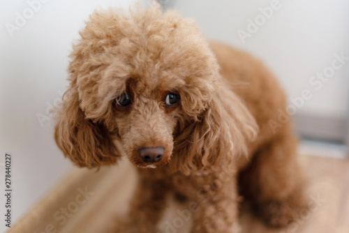 Photo a scared dog (apricot poodle)
