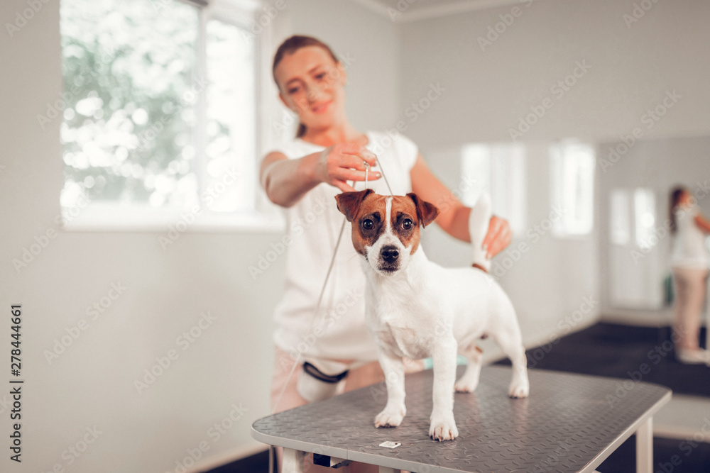 Fototapety, obrazy: White dog standing on metal table in veterinary clinic