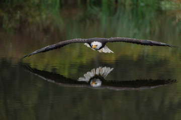 FototapetaMale Bald Eagle Flying Over a Pond Casting a Beautiful Reflection in the Water with Fall Color