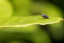 Fly On Leaf. Blue Bottle Fly I...