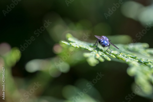 Photo Like a blue arsed fly. Blue-arsed fly selective focus close-up
