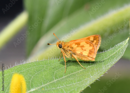 a Peck's Skipper Butterfly, polites peckius, resting on a leaf.