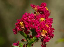 Red Crape Myrtle Flower At Lake Seminole Park, Florida