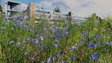 Purple Wildflowers Growing Near A Montana Road Blowing In A Gentle Breeze.