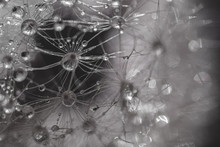 Macro Photo Of A Dandelion Wit...