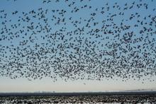 Massive Flock Of Snow Geese Fl...