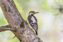 Close Up Of Woodpecker Sitting On Trunk Of Pine Tree