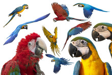 Macaw Image Set Isolated On Wh...