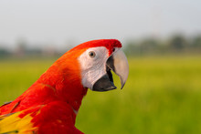 Closeup Scarlet Macaw And Beau...