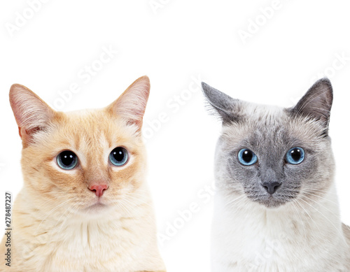 Photo Blue-point colored thai cat and tabby ginger cat together.