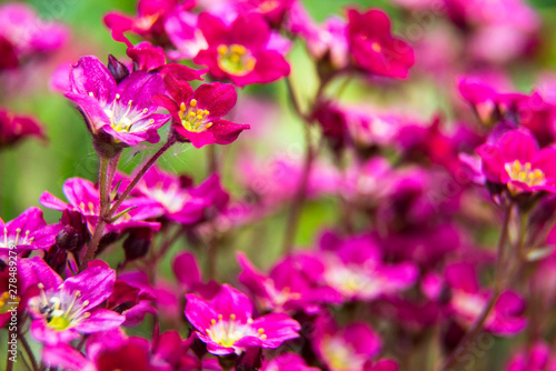 Poster Rose Summer flowers. Pink flowers in the garden at sunny summer or spring day. Beautiful summer landscape, soft focus. Flower background.Flower for postcard beauty decoration and agriculture concept design