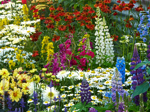 Close up of a colourful flower border with mixed planting including Lupins, phlox and Leucanthemums