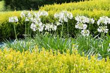 Flowering White Agapanthus Flowers In A Garden